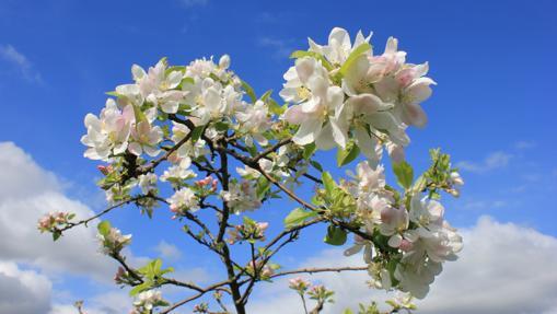 Manzano en flor en la Comarca de la Sidra