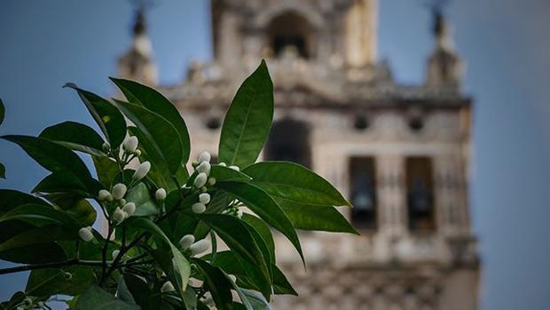 El azahar comienza a florecer en Sevilla