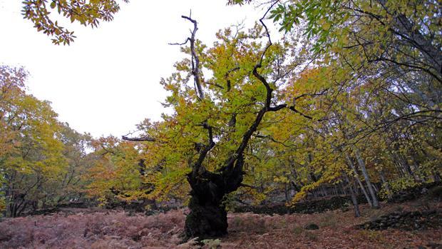 Castaños del Temblar, cerca de Segura de Toro, en el valle del Ambroz