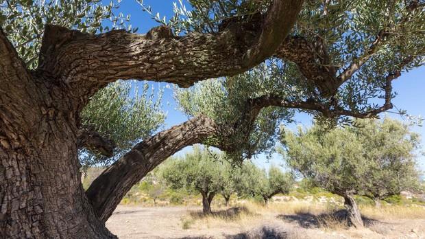 Olivos milenarios en las comarcas de Els Ports y el Baix Maestrat, en Castellón