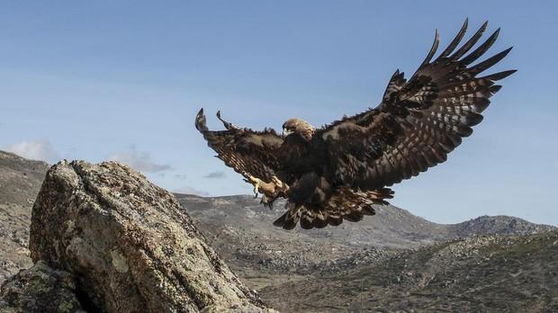 Águila real, en Salamanca