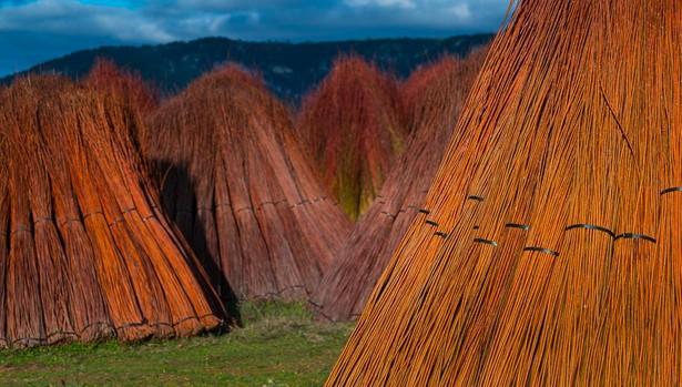 Gavillas de mimbre recién recolectado en la Serranía de Cuenca